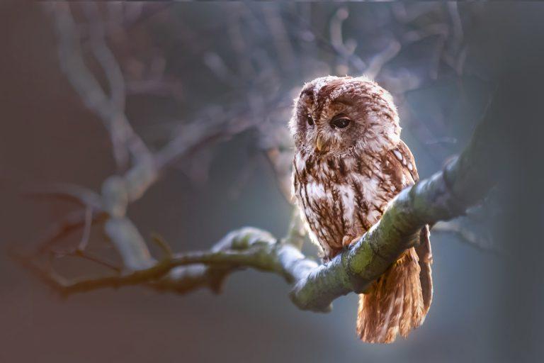 owl-1834152_1920